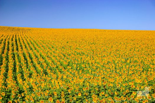 Spain landscapes fields farmland film location sunflowers